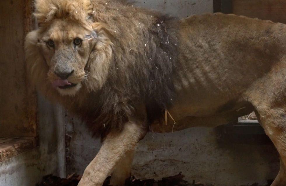 Mutilé, affamé, enfermé, un lion de cirque a vécu l'enfer
