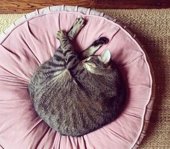 Gestazione gatto: tutto quello che devi sapere sulla gravidanza dei gatti!