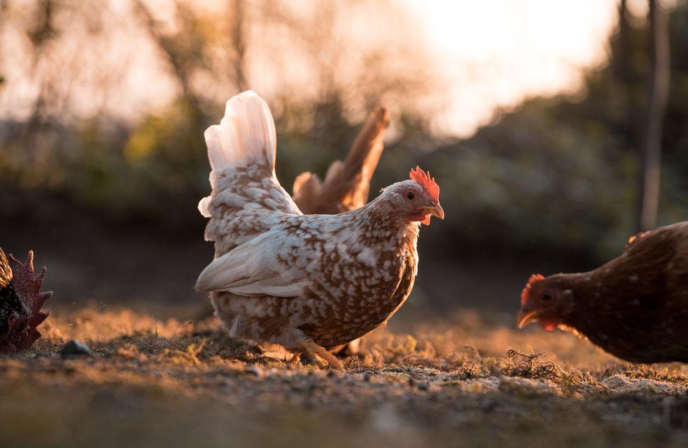 Un éleveur épargne ses 2800 poules de l'abattoir
