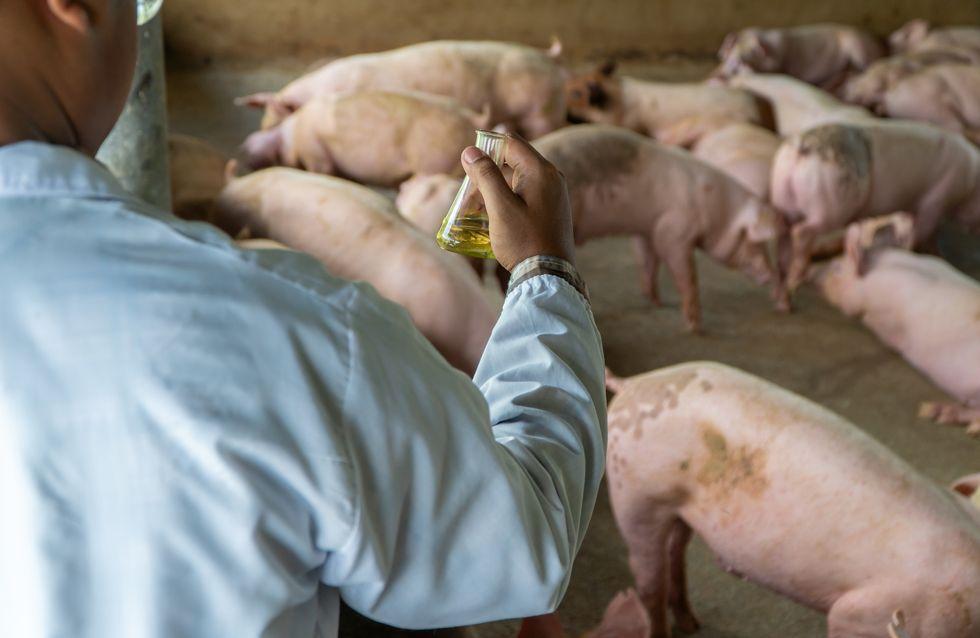 Faut-il s'inquiéter d'un virus de grippe porcine qui se profile en Chine ?