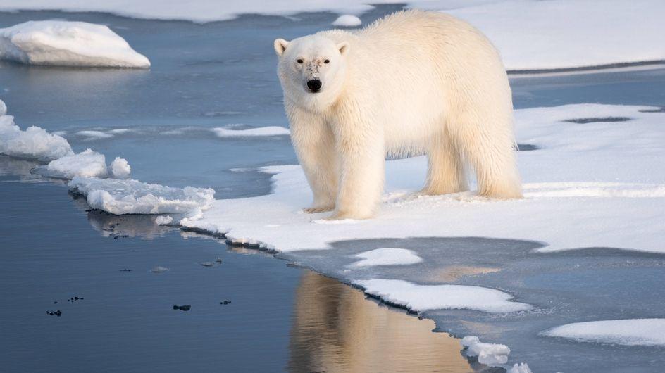 Ours polaires : Leur disparition est pour bientôt et c'est très inquiétant