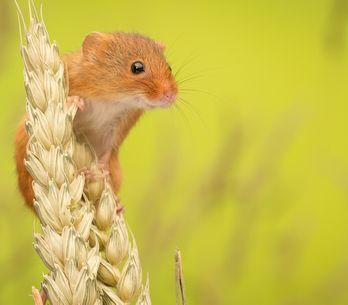 Mäuse vertreiben: So werdet ihr die kleinen Nager los
