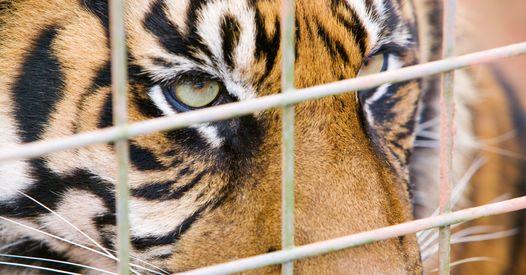 Fort Boyard : Les tigres sont-ils drogués ? Le dresseur de l'émission répond