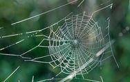 Ammen-Dornfinger: Giftspinne breitet sich in Deutschland aus