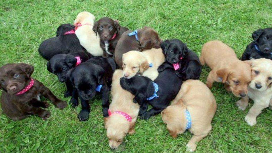 En Irlande, une chienne donne naissance à l'une des plus grandes portées de tous les temps