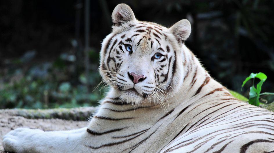 Sherkan, le célèbre tigre blanc du Zoo de Beauval, est mort