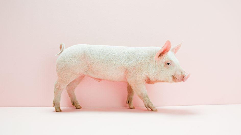 Afrikanische Schweinepest in Deutschland – Gefahr für den Menschen?