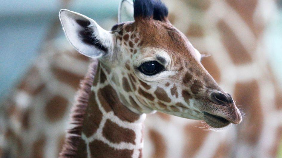 Première naissance d'un girafon au zoo d'Amnéville