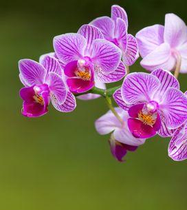 Orchidea: il significato del fiore simbolo dell'eleganza