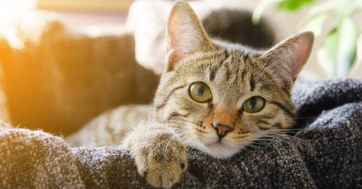 Étude : votre chat peut attraper le coronavirus