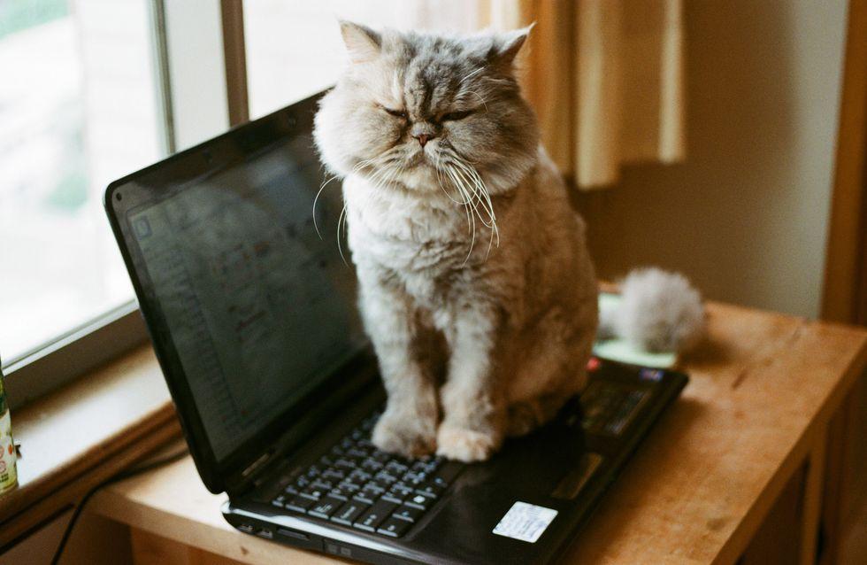 Mais pourquoi votre chat s'assoit-il sur votre clavier ? On a la réponse