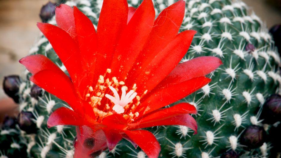 Piante grasse con fiori: le 8 più belle da interno ed esterno