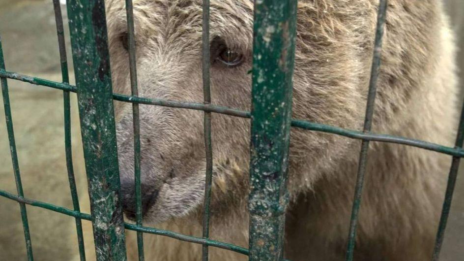 """Deux ours enfin libérés du """"pire zoo du monde"""""""