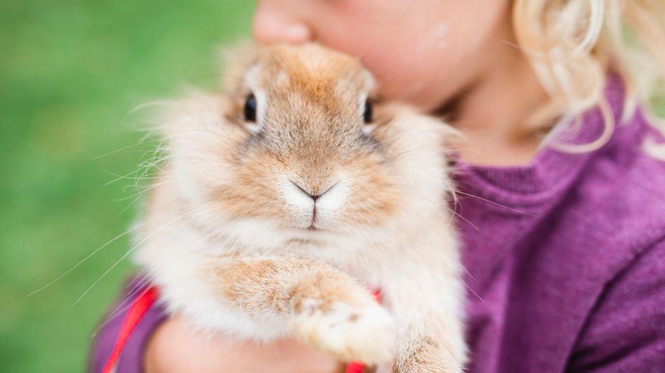 Rats, lapins, cochons d'Inde... Les adoptions et abandons de rongeurs explosent avec le confinement