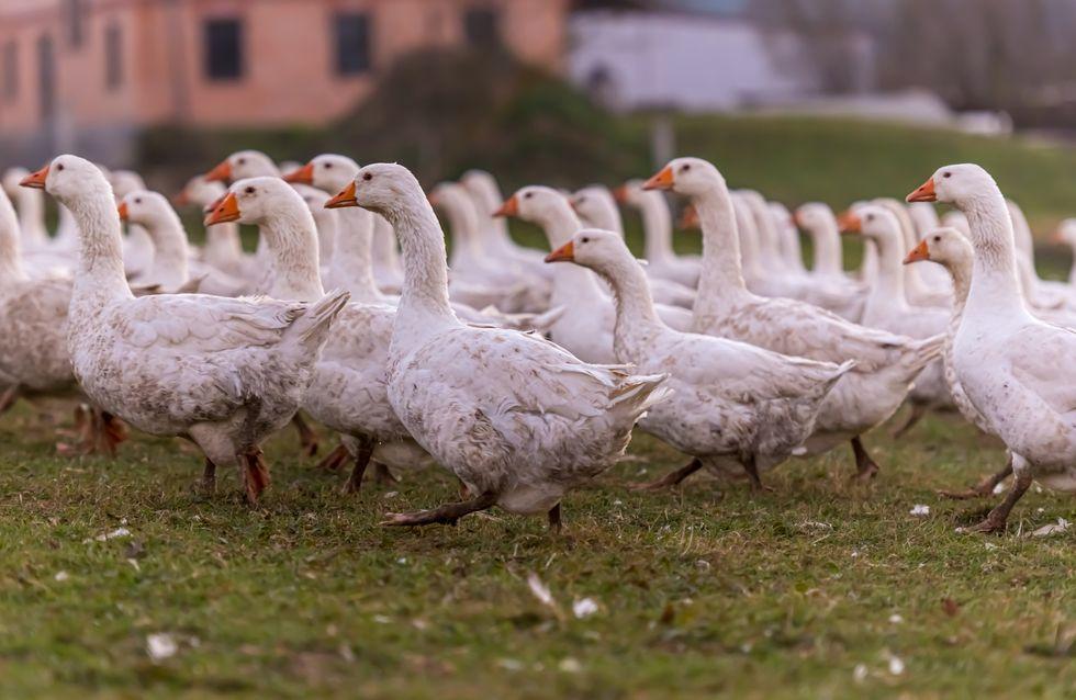 Vogelgrippe-Virus H5N8: Erste Infektion bei einem Menschen
