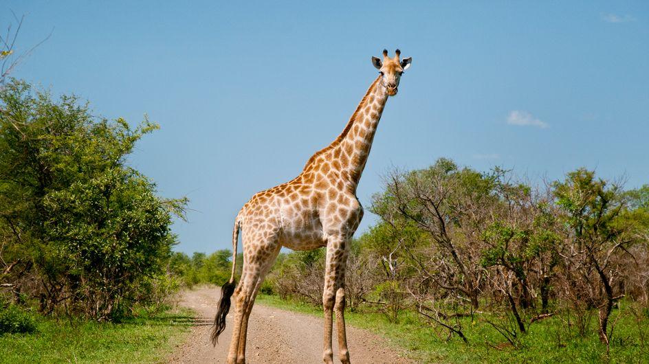"""Elle pose à côté de la girafe qu'elle a abattu lors d'une """"chasse en boîte"""""""