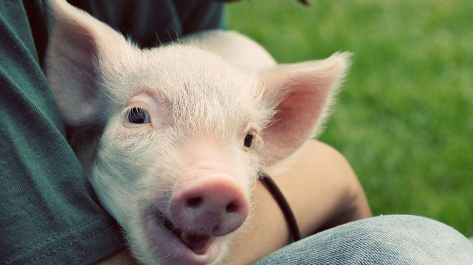 Et si le meilleur animal de compagnie était... le cochon ?