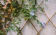 Piante rampicanti: le varietà più affascinanti e facili da curare