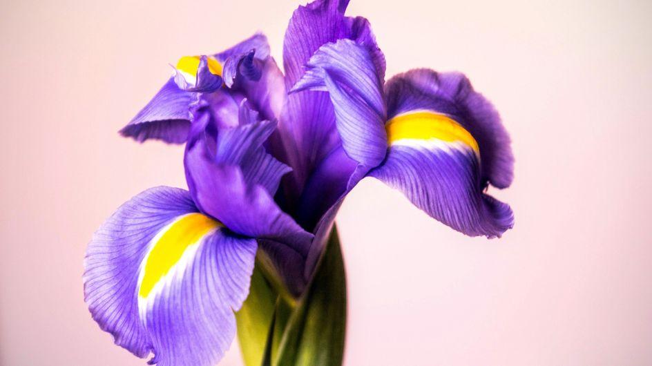 Fiore dell'iris: quali sono le caratteristiche e come si coltiva