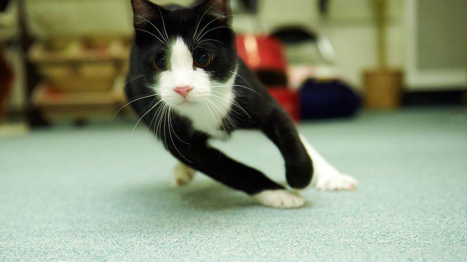 Mais pourquoi les chats courent après avoir fait caca ? On a enfin la réponse