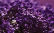 Colore viola: simbologia, significato ed effetti sulla mente