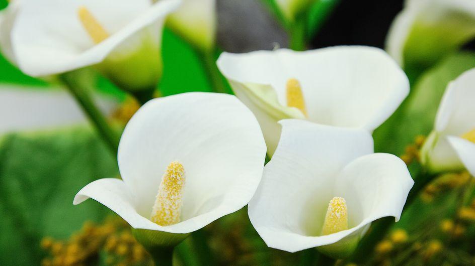 Calle: il significato di questi fiori eleganti e raffinati
