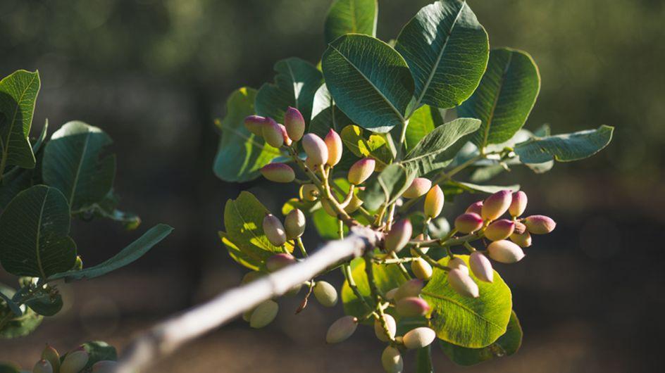 Pianta di Pistacchio: proprietà e benefici di un'antica pianta del Medio Oriente