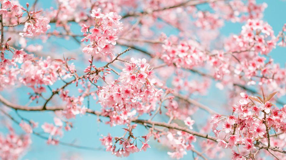 Fiori di ciliegio: ecco perché in Giappone sono così amati