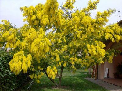 piante ornamentali da giardino: l'albero di mimosa