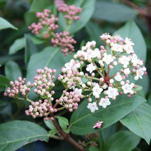 piante ornamentali da giardino: Viburnum tinus