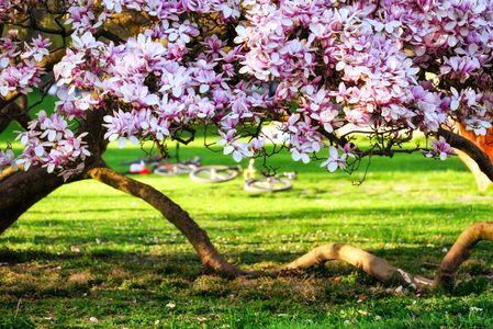 piante ornamentali da giardino: albero di magnolia