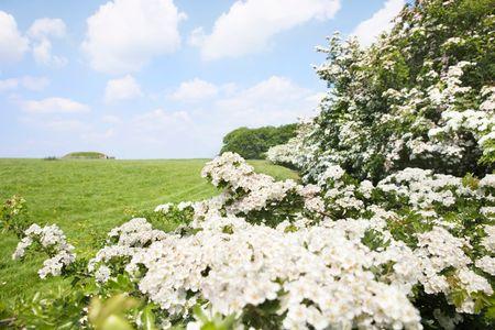 piante ornamentali da giardino: il biancospino è tipico per terreni agricoli
