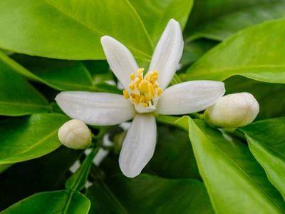 pianta di limone: i suoi fiori sono bianchi e molto profumati