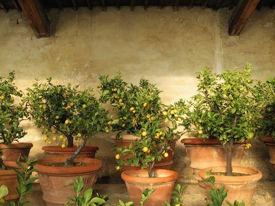 pianta di limone: i vasi di terracotta sono migliori per i travasi