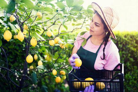 pianta di limone: raccolta casalinga quando i limoni sono maturi