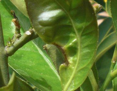 pianta di limone: attacchi da parte di parassiti