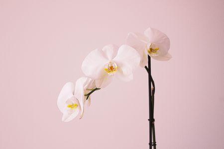 come curare le orchidee: da qualche anno ormai le orchidee sono tra le piante da rivista più apprezzate e coltivate anche in casa