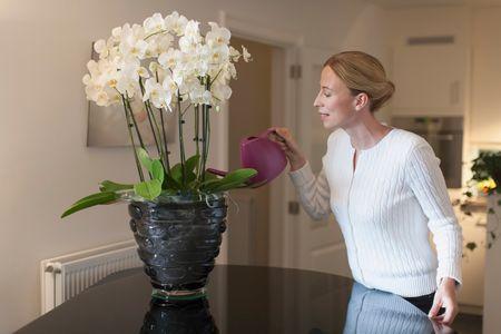 come curare le orchidee: fioriscono in casa circa una volta l'anno e sono piante da rivista in quanto veramente bellissime