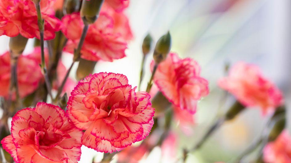Garofano: significato del fiore degli dei
