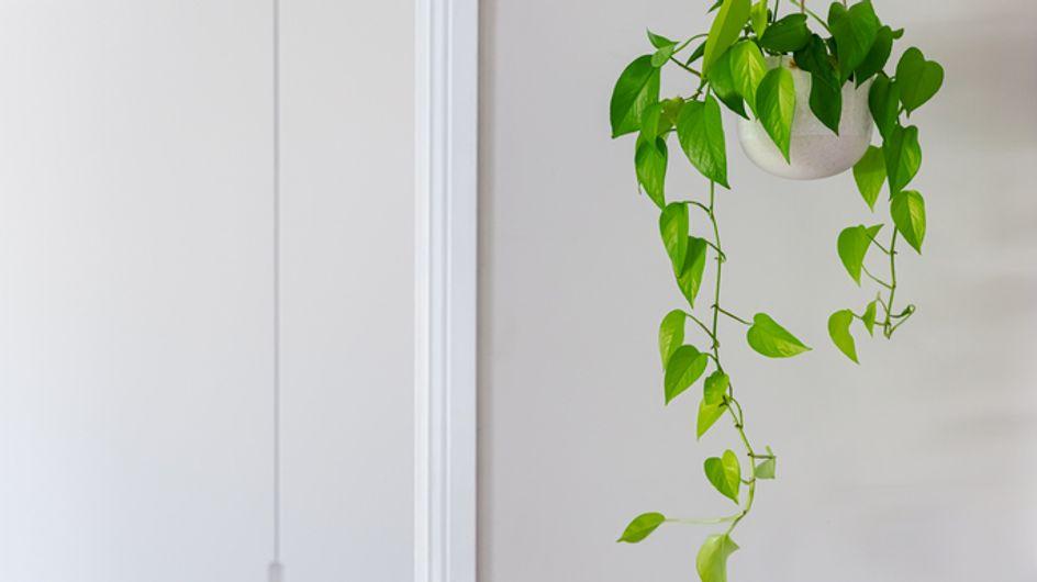 Piante rampicanti in vaso: come impreziosire balconi e terrazzi con vasi di passiflora, clematis, dipladenia, gelsomino o edera