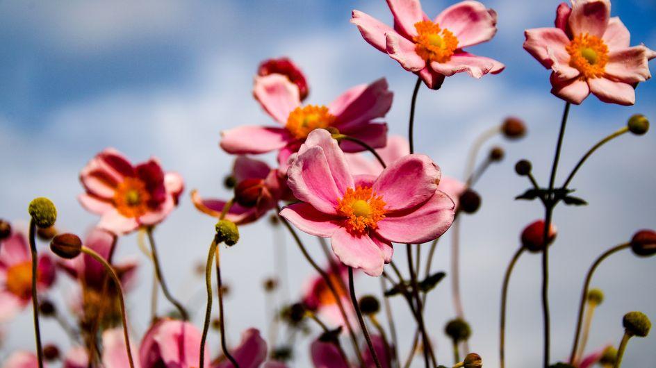 Anemone: il fiore primaverile colorato e facile da coltivare