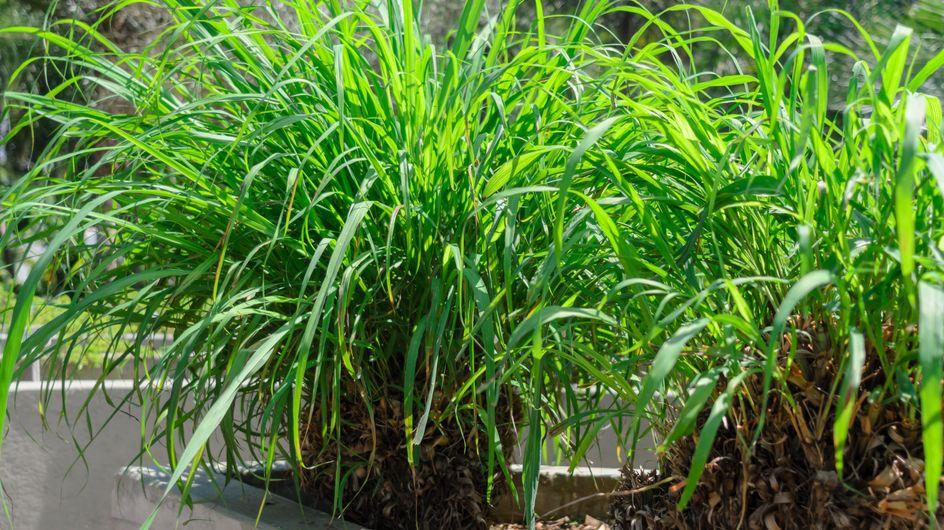 8 piante e fiori contro le zanzare da tenere in giardino