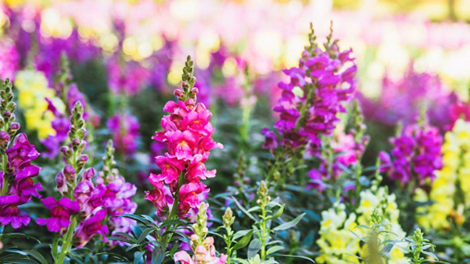 Bocca di leone: una pianta dai fiori colorati e meravigliosi che porta buonumore anche in autunno!