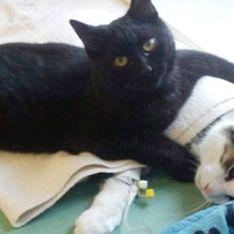 Este increíble gato enfermero dedica su vida a cuidar de animales enfermos