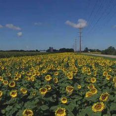 Il plante des milliers de tournesols en hommage à sa femme, emportée par la maladie (Vidéo)