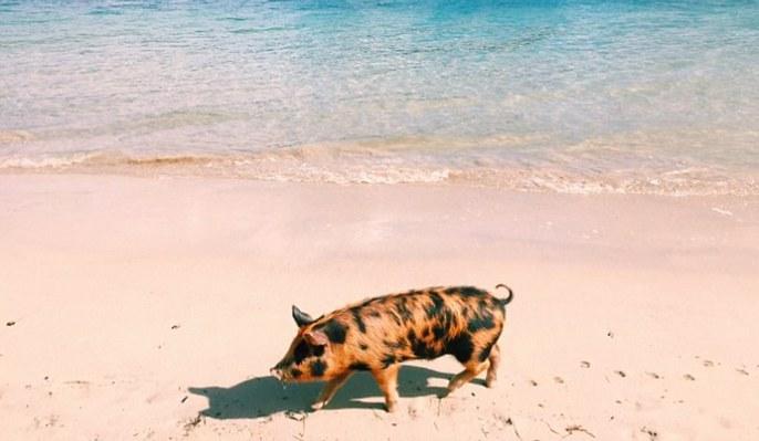 Piggy Smalls : Tout sur le cochon star d'Internet !