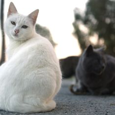 Pourquoi l'Australie veut-elle éliminer 2 millions de chats ?
