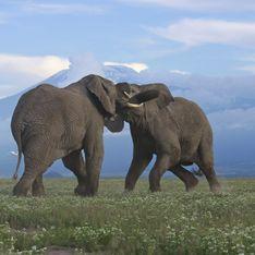 Rejeté par celle qu'il aimait, un éléphant détruit 15 voitures (Vidéo)