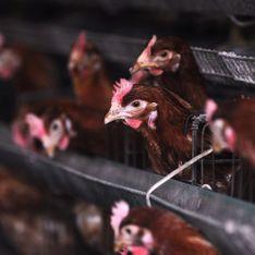Monoprix arrête de soutenir l'élevage de poules en batterie