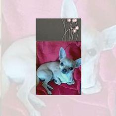 Zeugen gesucht! Chihuahua Arno wurde grausam zu Tode getreten